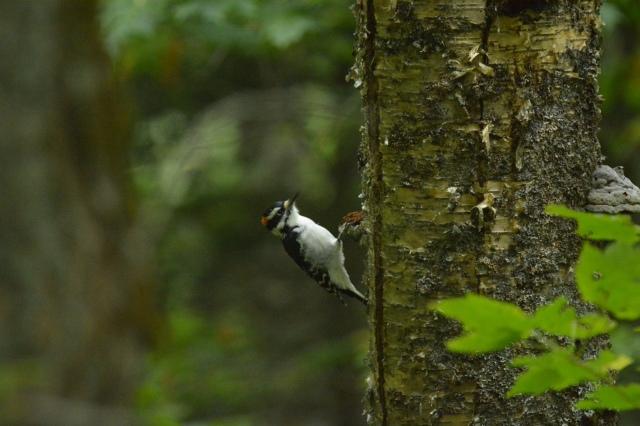 Un pique-bois (ou pivert) observé durant de longues minutes